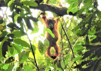 01 Baby Orangutan
